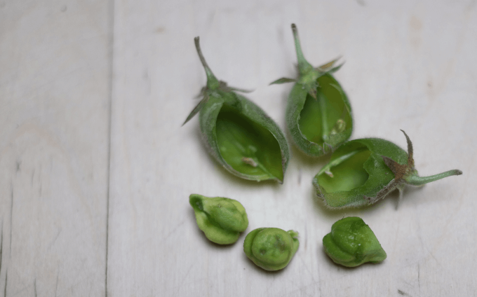 Each garbanzo pod has one or two beans inside.